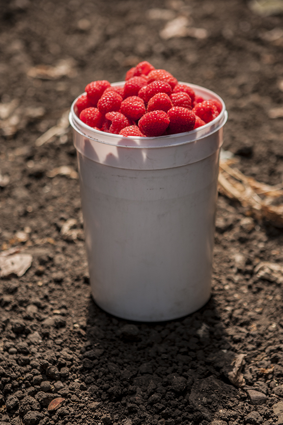 Driscolls • Agriculture & Growers • Raspberries