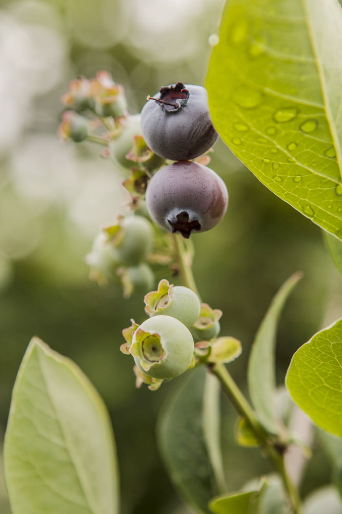 Driscolls • Agriculture & Growers • Blueberries