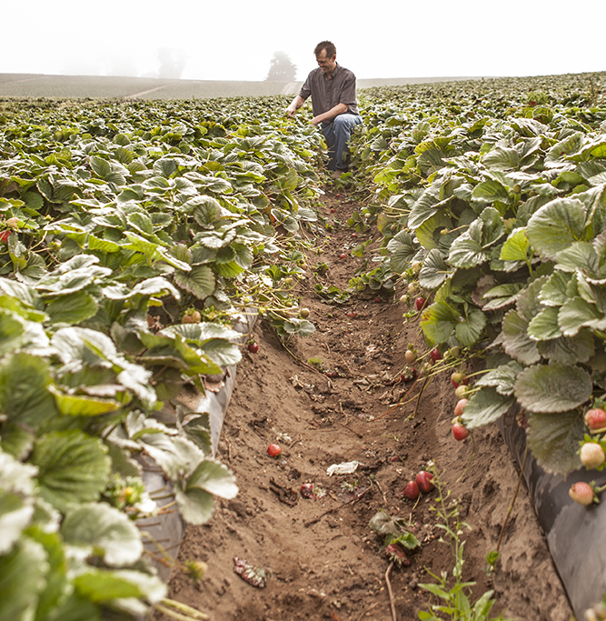 Driscolls • Agriculture & Growers • Strawberries